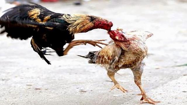 Situs Sabung Ayam Online Terpercaya Di Indonesia