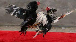 Daftar situs judi sabung ayam online terpercaya