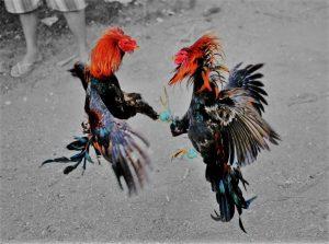 Situs Judi Ayam Online Terbaik Indonesia