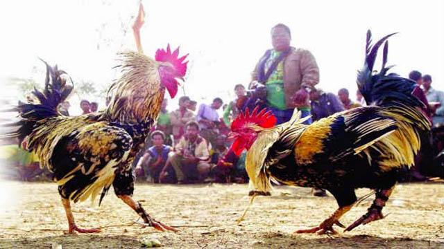 Situs Judi Ayam Online Ternama